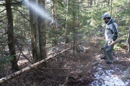 Fallen spruce trees from the winter. Don't worry we didn't fell any!