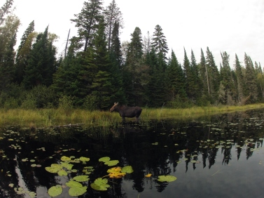 Moose sighting in Algonquin Park 2014, after the last portage on the last day of the trip.