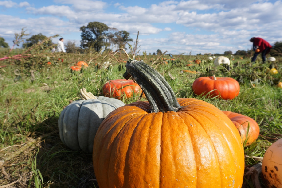 Pumpkin Patch - Rockville, Virginia